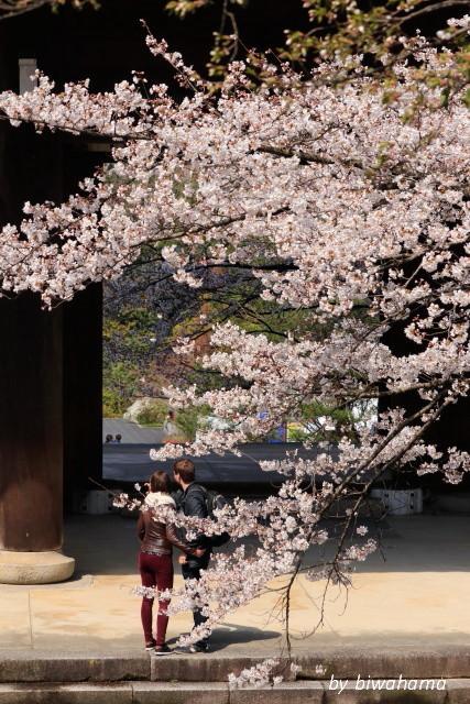 京都桜めぐり 知恩院~高台寺へ_b0055171_23472033.jpg