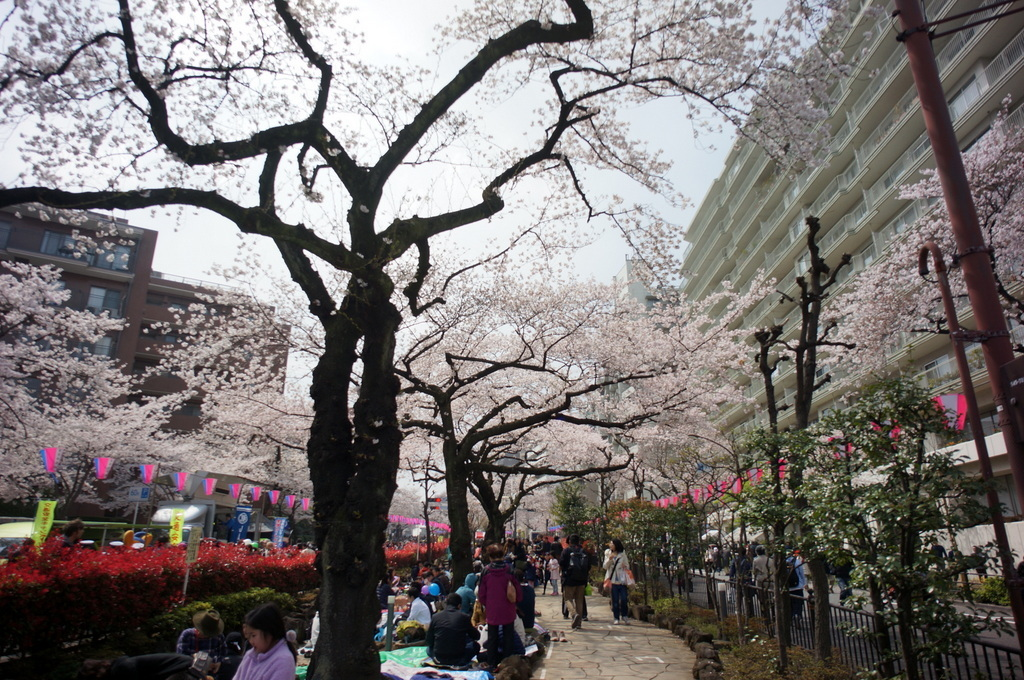 文京さくら祭り@播磨さくら坂 3/31_c0180686_08284240.jpg