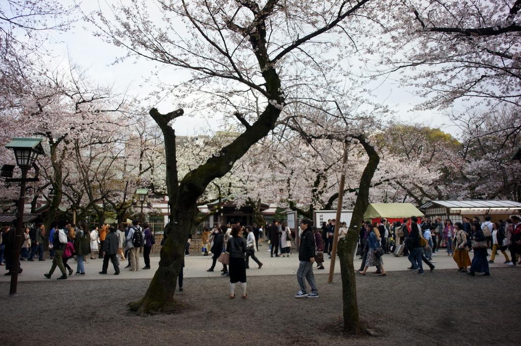 上野の櫻、さんさき坂カフェ、そして外堀土手から靖国神社_c0180686_11404876.jpg