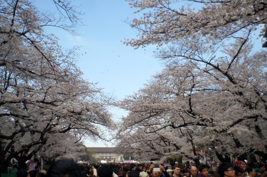 上野の櫻、さんさき坂カフェ、そして外堀土手から靖国神社_c0180686_11415843.jpg