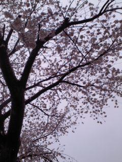雪桜/Sakura in snw_d0090888_08210534.jpg