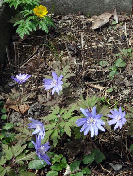 小さくなったショウジョウバカマ、青と白のキクザキイチゲなど♪_a0136293_15292890.jpg
