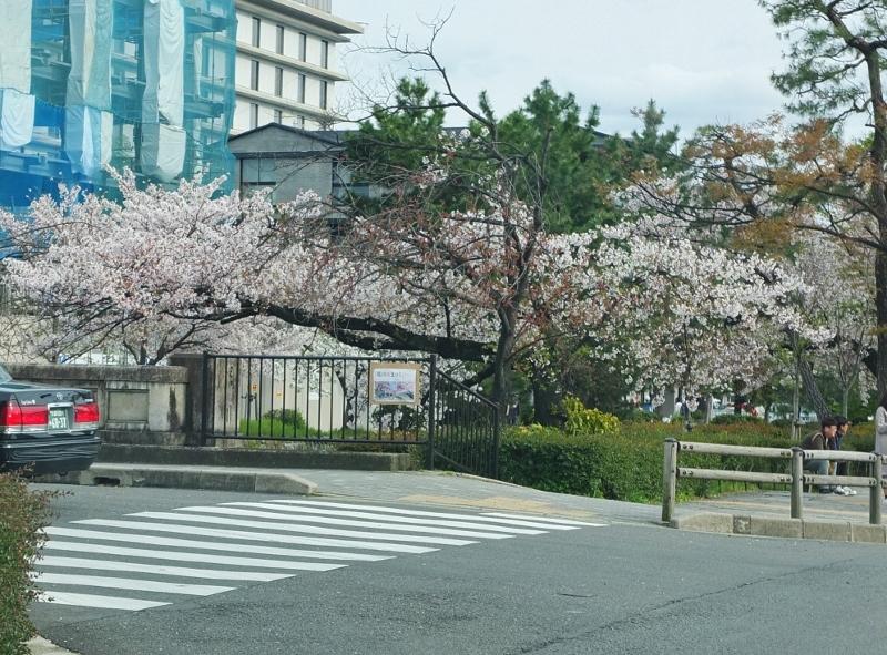 桜花爛漫な都大路を駆け抜ける_b0212396_23043798.jpg