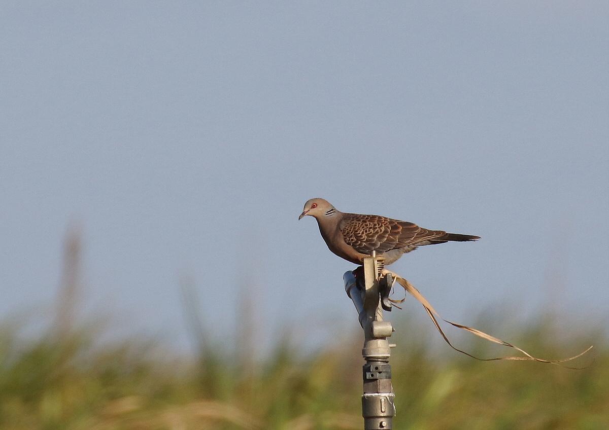 宮古島の野鳥-9_c0113597_10430035.jpg