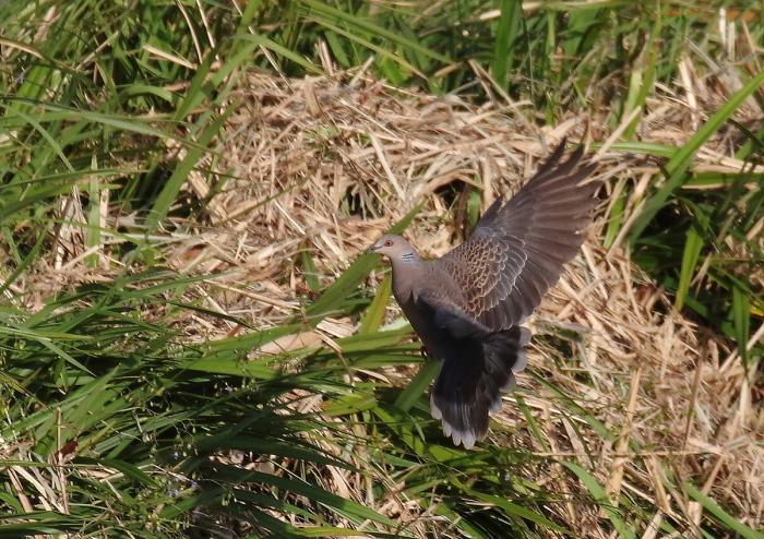 宮古島の野鳥-9_c0113597_10431489.jpg