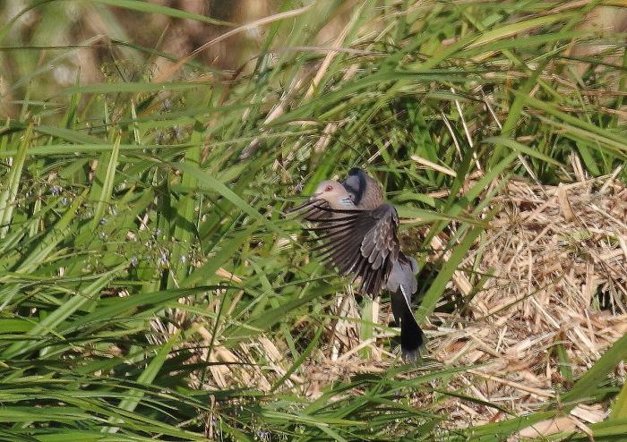 宮古島の野鳥-9_c0113597_11041296.jpg