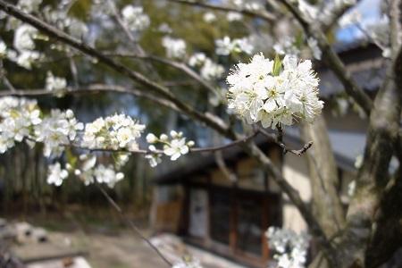 金沢の桜 2019.04.11_c0213599_22132506.jpg