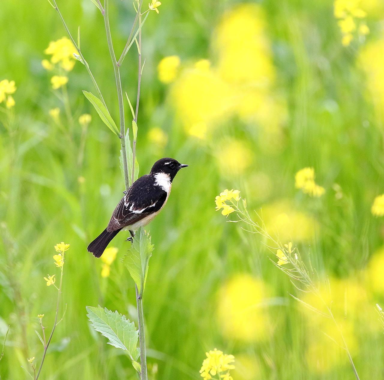 春の渡りのノビタキを・・・_c0213607_20314437.jpg