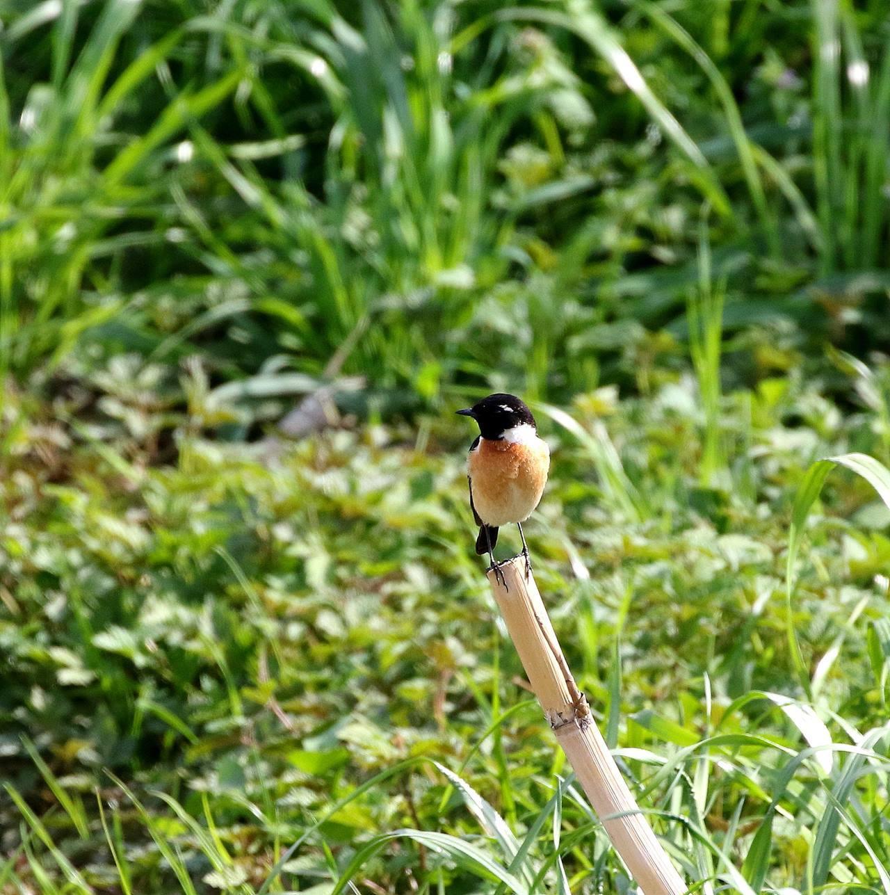 春の渡りのノビタキを・・・_c0213607_20321603.jpg