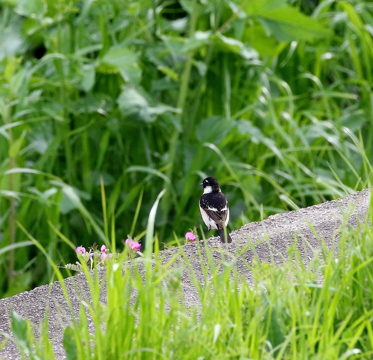 春の渡りのノビタキを・・・_c0213607_20322192.jpg