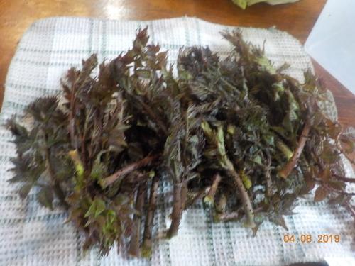 はつタラの芽収穫_a0173527_02143636.jpg