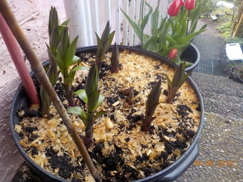 はつタラの芽収穫_a0173527_02253441.jpg