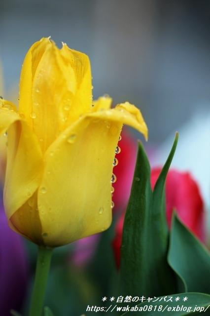 雨上がりのチュ-リップをマクロレンズで撮影(^^♪_e0052135_16221063.jpg