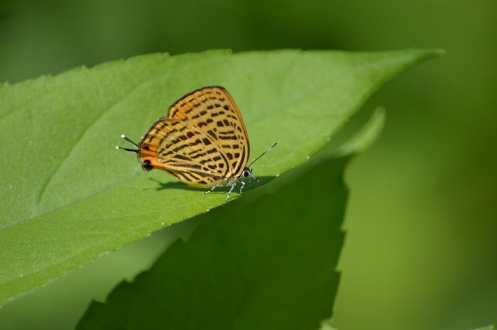 14ウラナミアカシジミ「蝶図鑑」_d0254540_19231550.jpg