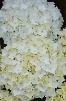 テーブルリメイク & 平成最後のお花見 & 白い紫陽花_a0084343_10515345.jpg