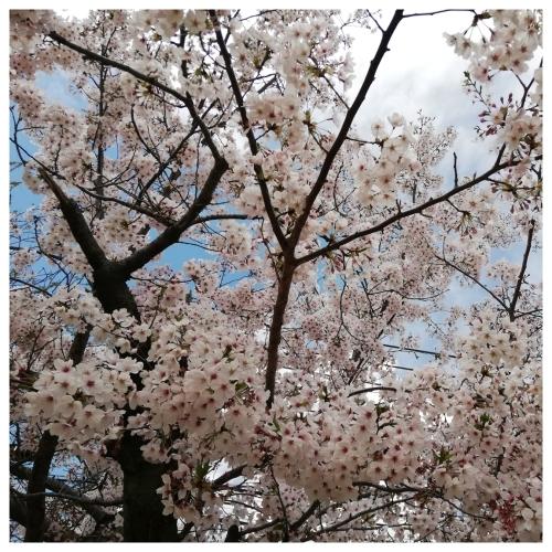 テーブルリメイク & 平成最後のお花見 & 白い紫陽花_a0084343_15142828.jpg