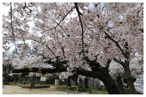 テーブルリメイク & 平成最後のお花見 & 白い紫陽花_a0084343_15145503.jpg