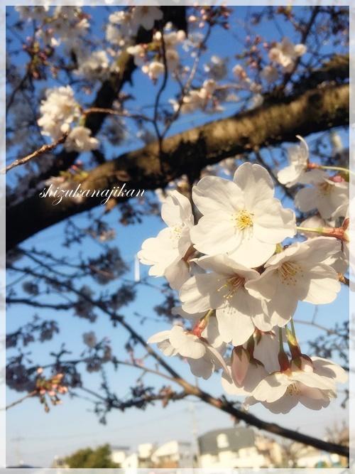 桜・さくら・サクラ・・・_a0341548_22460937.jpg