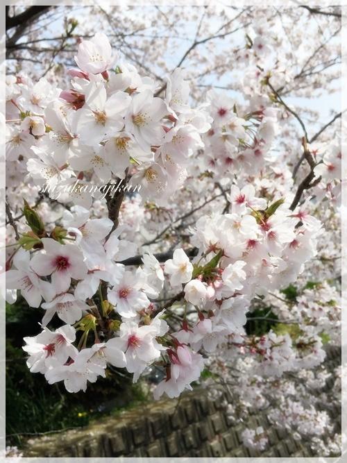 桜・さくら・サクラ・・・_a0341548_22461953.jpg