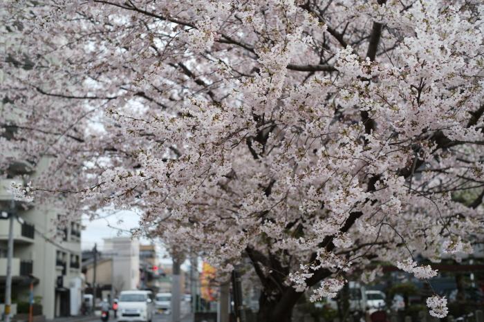 名残の桜とズミルックス。_e0172351_03131519.jpg