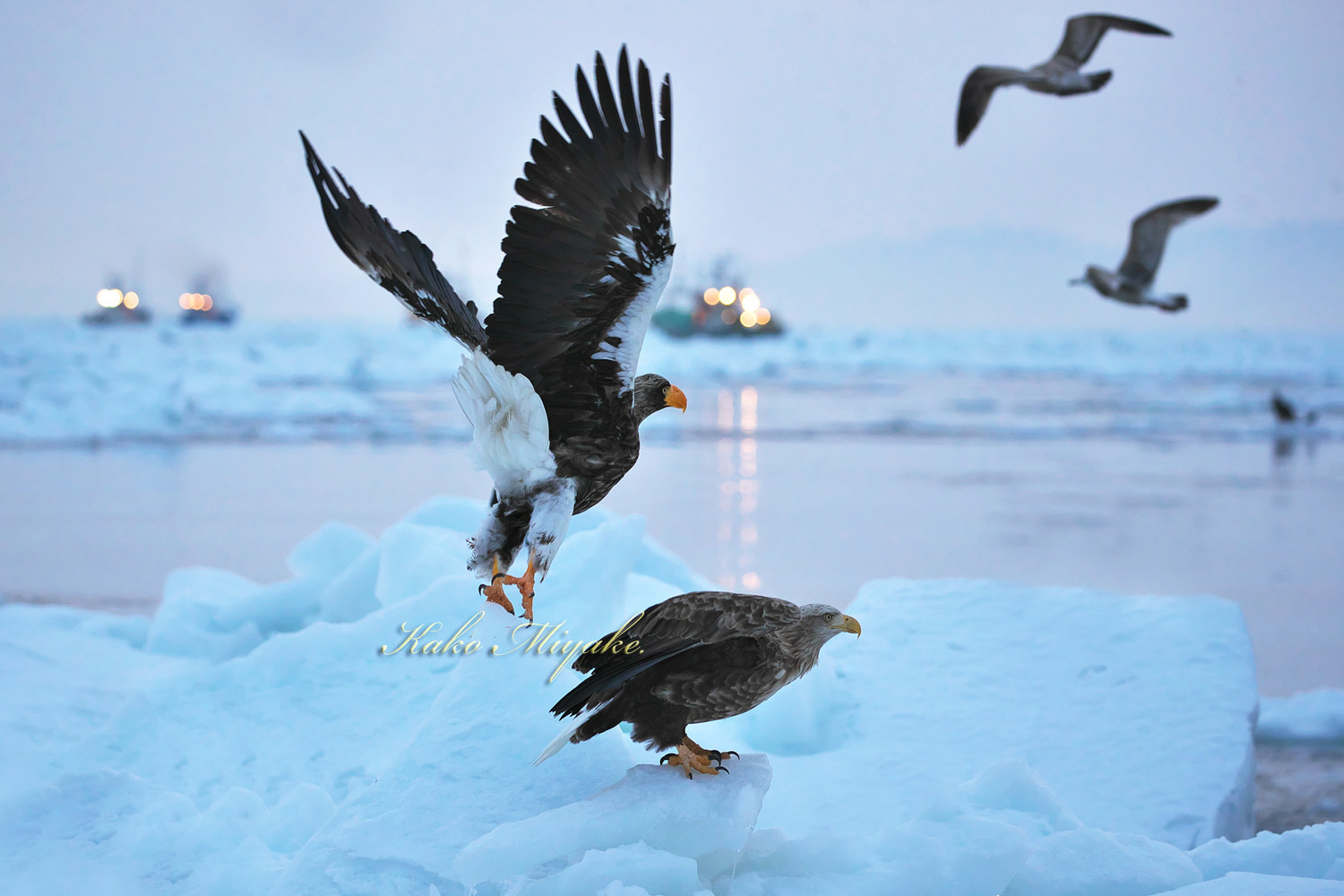 オオワシ(Steller\'s sea eagle )とオジロワシ(White-tailed eagle) _d0013455_12421709.jpg