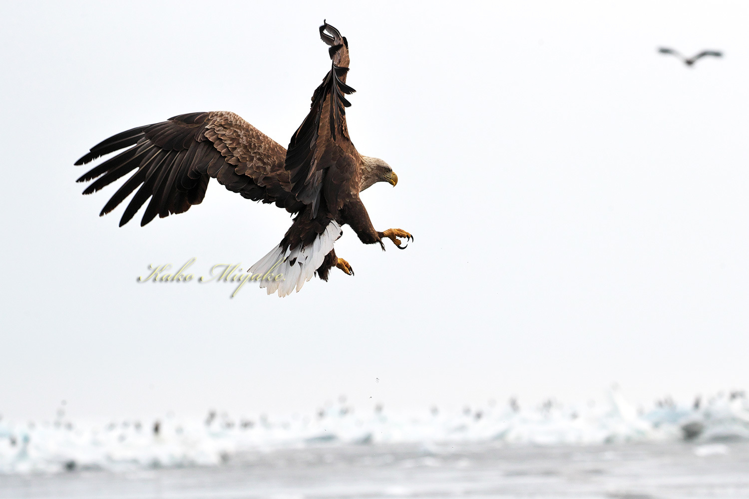 オジロワシ(White-tailed eagle)_d0013455_20521194.jpg