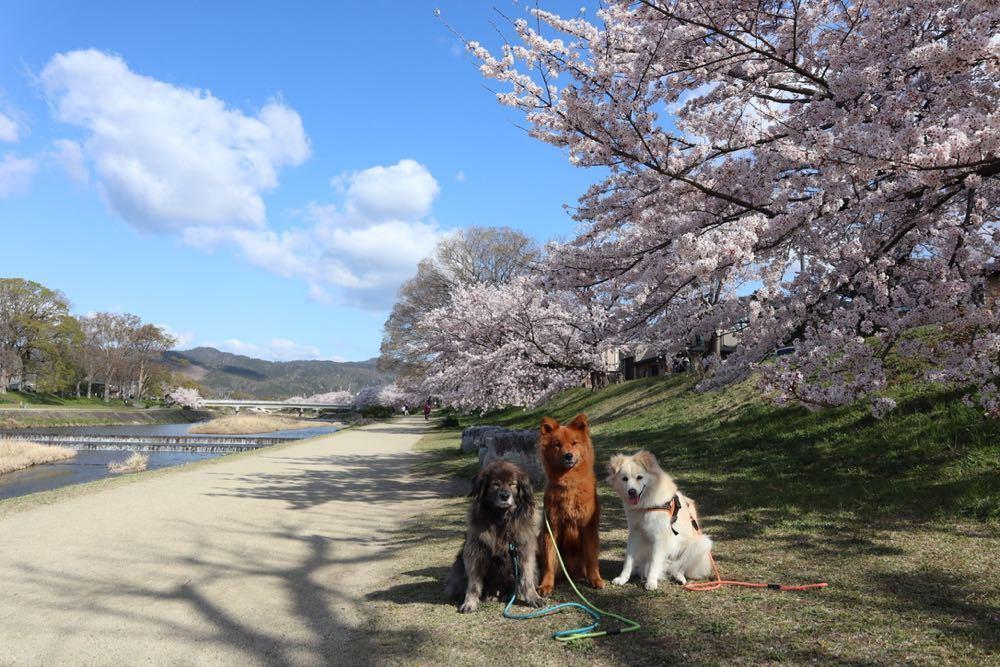 2019年・桜 <賀茂川>_a0119263_17533909.jpg