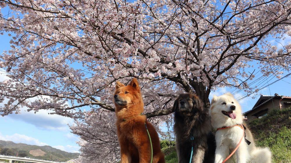 2019年・桜 <賀茂川>_a0119263_17533979.jpg