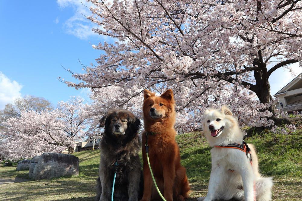 2019年・桜 <賀茂川>_a0119263_17534002.jpg