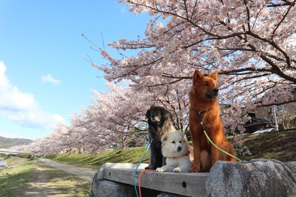 2019年・桜 <賀茂川>_a0119263_17534059.jpg