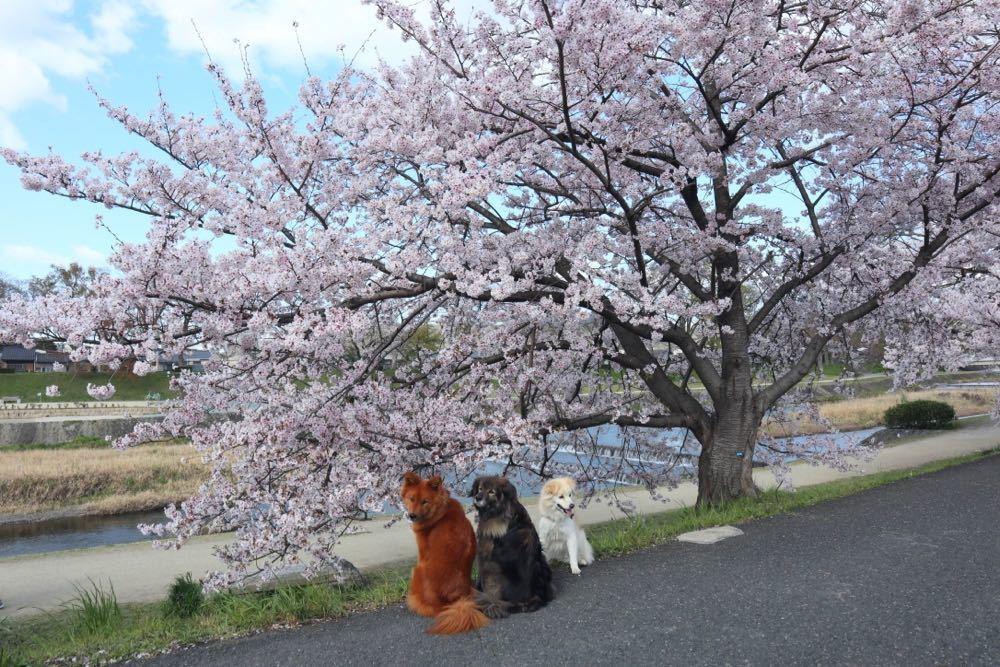 2019年・桜 <賀茂川>_a0119263_17534064.jpg