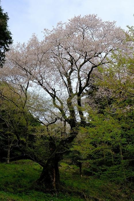岩国のまぼろしの1本桜 (向畑の左近桜)2019年_e0410863_10254631.jpg