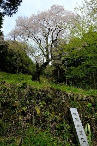 岩国のまぼろしの1本桜 (向畑の左近桜)2019年_e0410863_10260136.jpg