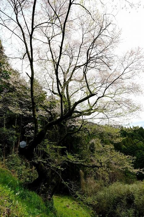 岩国のまぼろしの1本桜 (向畑の左近桜)2019年_e0410863_10274717.jpg
