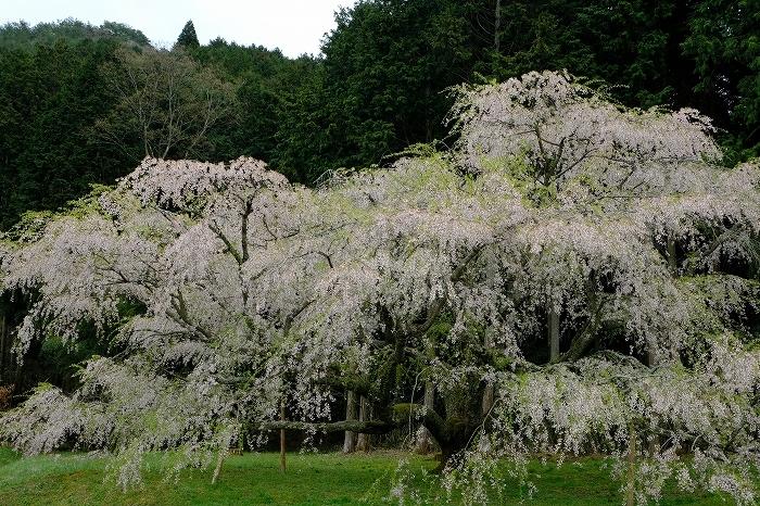 岩国のまぼろしの1本桜 (向畑の左近桜)2019年_e0410863_10283503.jpg