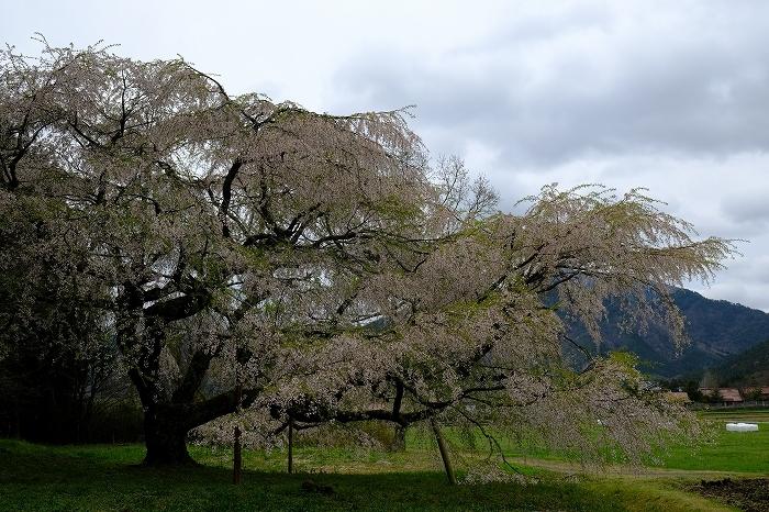 岩国のまぼろしの1本桜 (向畑の左近桜)2019年_e0410863_10284452.jpg