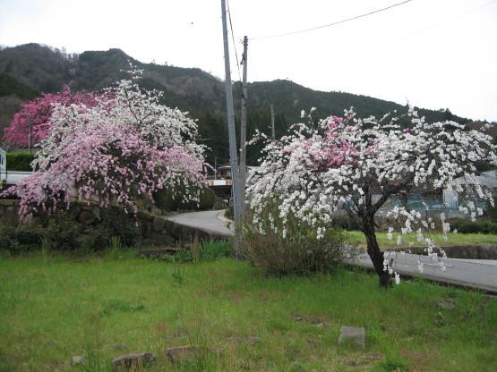 お花見シーズン_b0078597_17441888.jpg