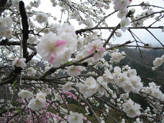 お花見シーズン_b0078597_17450477.jpg