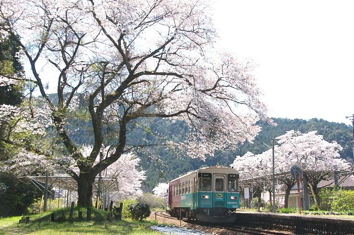 2019年・春/鉄道と桜#2-長良川鉄道_e0056449_18230980.jpg