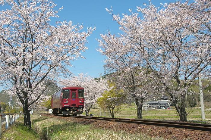 2019年・春/鉄道と桜#2-長良川鉄道_e0056449_18240978.jpg