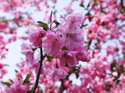 幻の白い「長生たけのこ」 海棠(かいどう)の花が咲き誇る今がまさに最旬!残りわずか!お急ぎください!!_a0254656_18171377.jpg