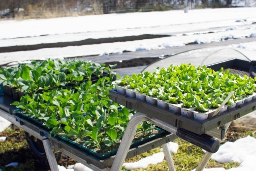 レタス、キャベツ、ブロッコリーの苗を植える_c0110869_14543392.jpg