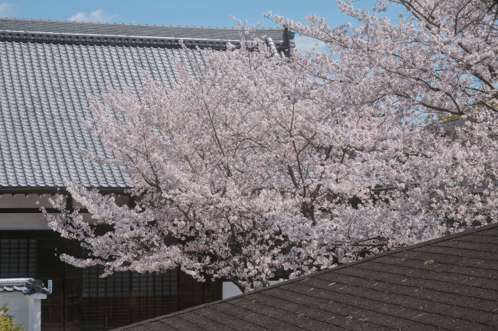 桜 2019_f0021869_23015599.jpg