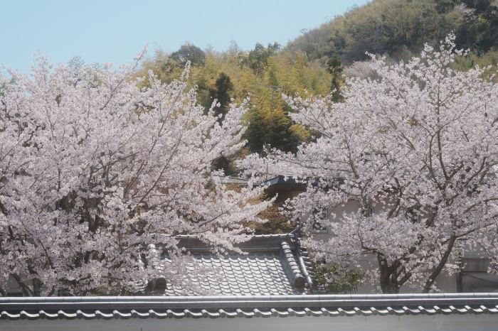 桜 2019_f0021869_23015602.jpg