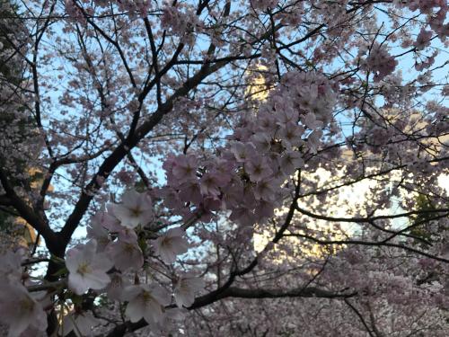今朝の錦町公園 桜_d0144871_06533820.jpg