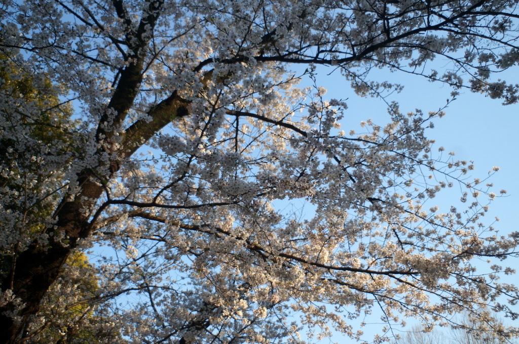 本番前でも櫻は愛でたい! 4/4_c0180686_01122475.jpg