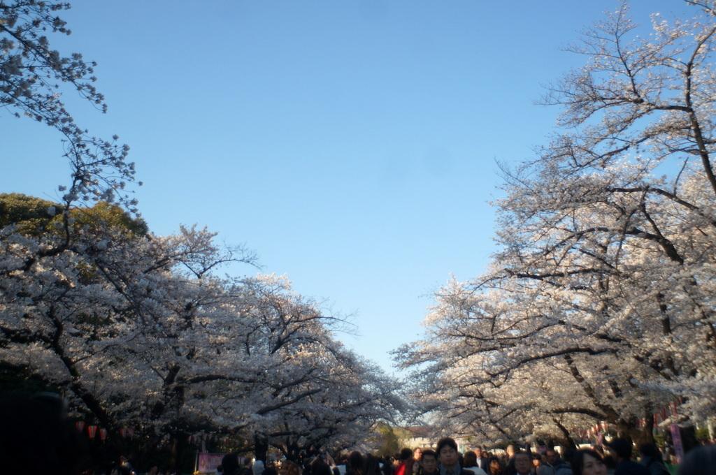 本番前でも櫻は愛でたい! 4/4_c0180686_01123103.jpg