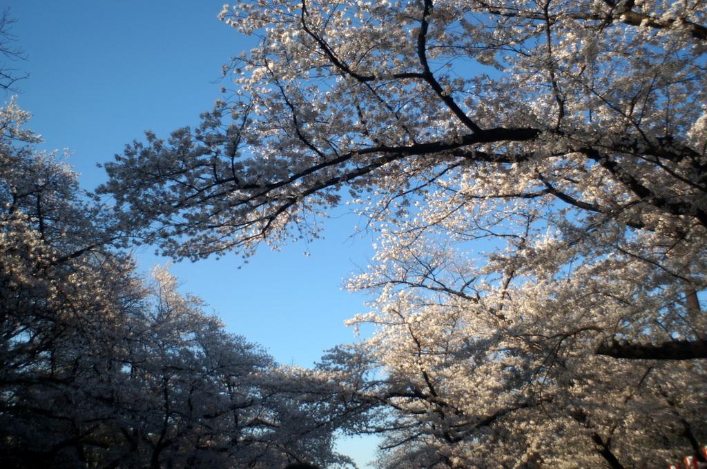 本番前でも櫻は愛でたい! 4/4_c0180686_01123444.jpg