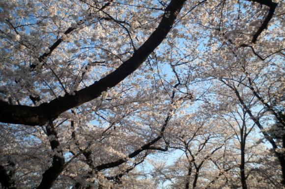 本番前でも櫻は愛でたい! 4/4_c0180686_01131016.jpg