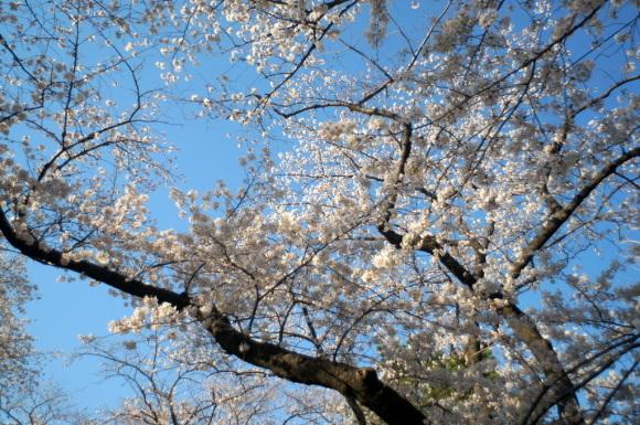 本番前でも櫻は愛でたい! 4/4_c0180686_01131708.jpg